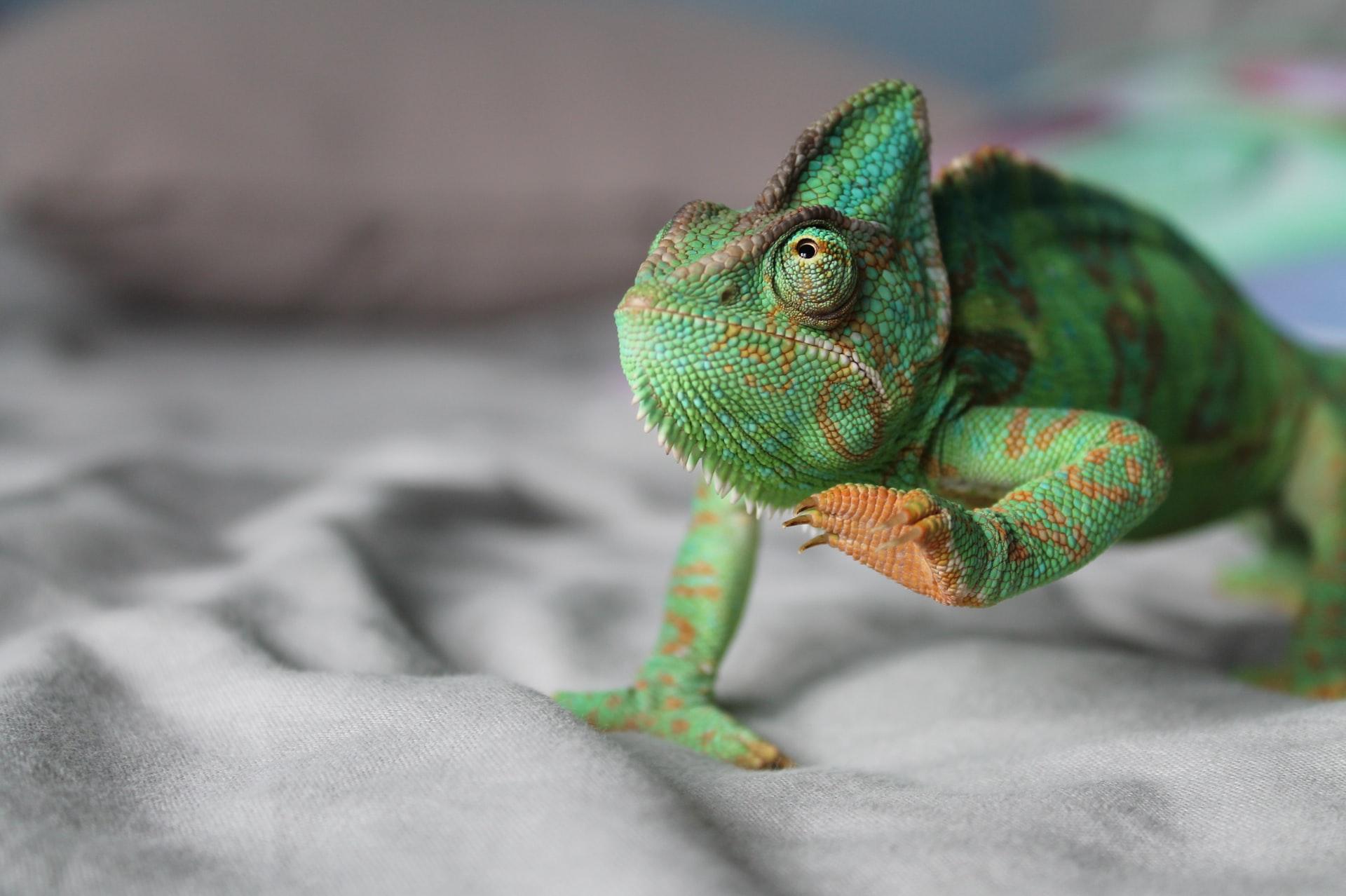 chameleon-bed